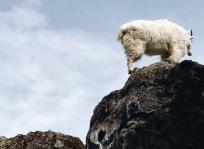 Mountain goat!